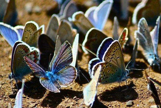 Argus bleus